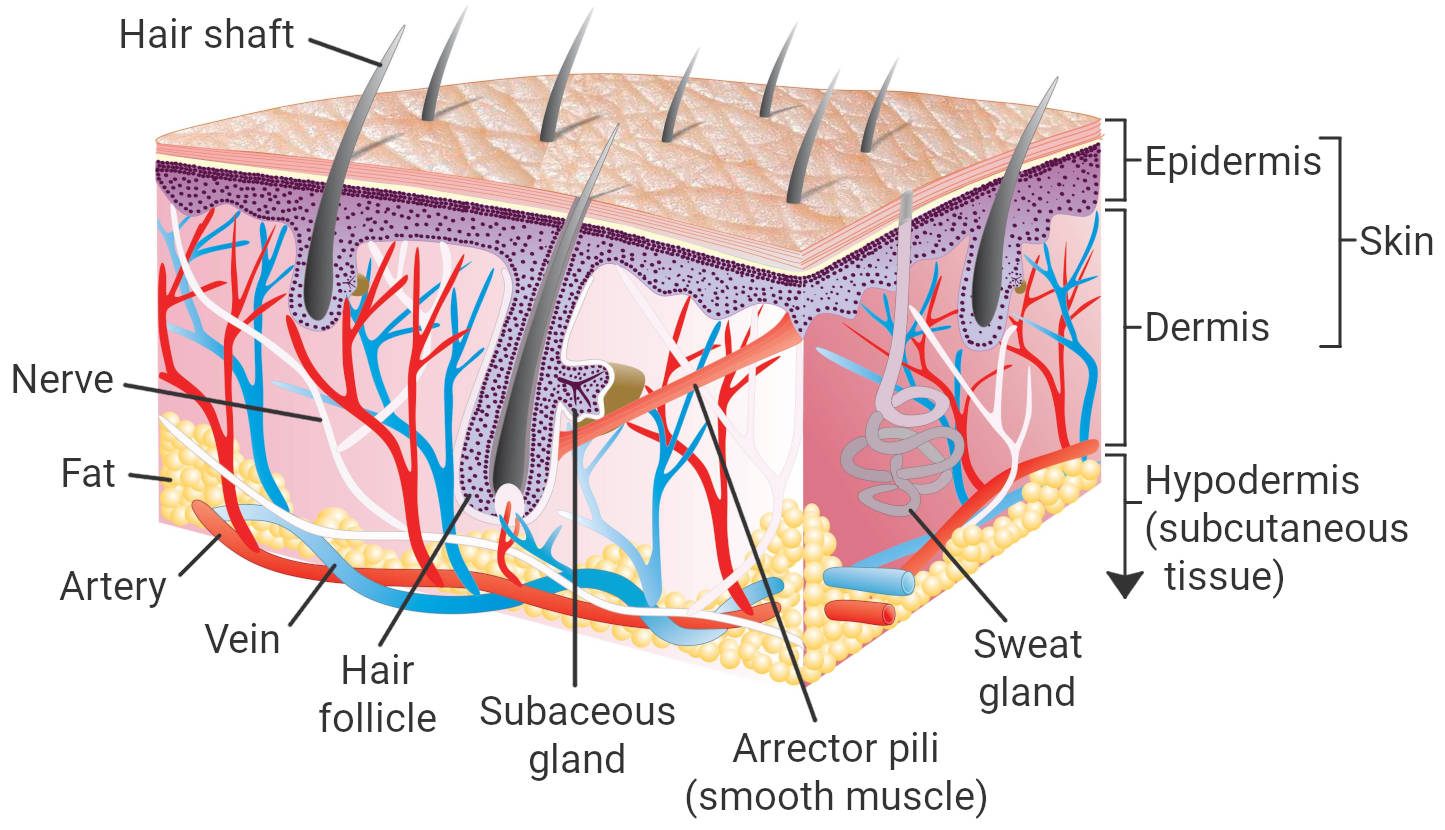 Anatomy of human skin labelled. Including the three layers of the skin, epidermis, dermis, and hypodermis.